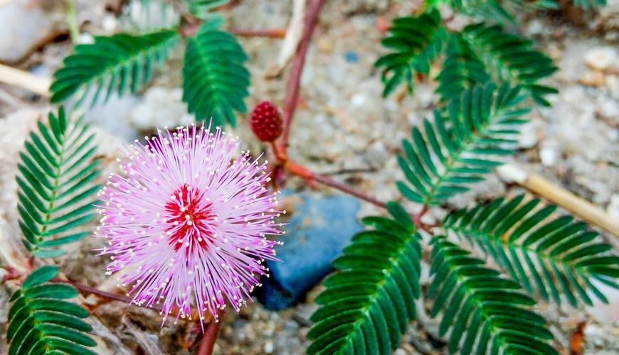 Mimosa pudica seeds