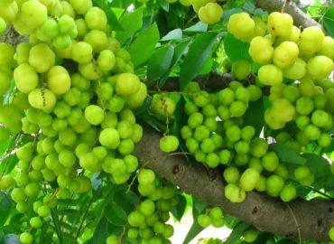 Indisk stikkelsbær c vitamin